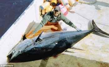 atún, tamaño