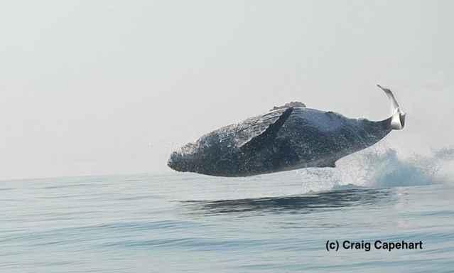 ballena jorobada salta entera fuera del agua