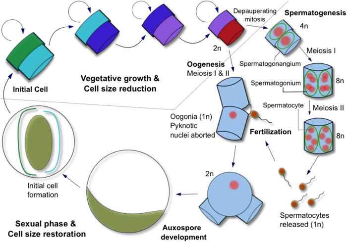 ciclo de vida de las diatomeas céntricas