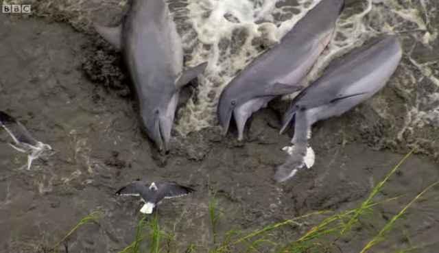 delfines encallan en la arena para cazar