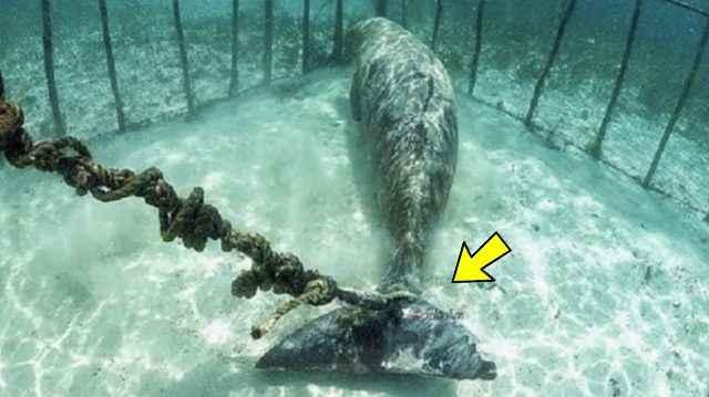 dugongo encadenado dentro de una jaula
