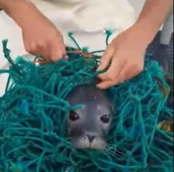 foca enredada