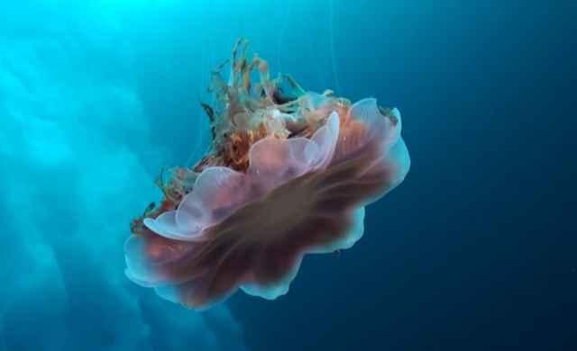 medusa bajo el hielo de Groenlandia