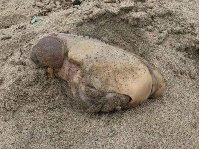Liebre de mar varada en Malibú, California