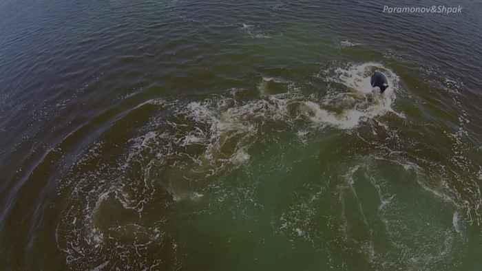 orcas cazan una ballena de Groenlandia