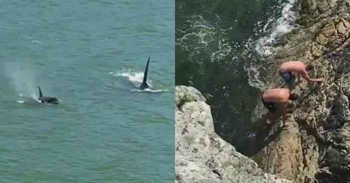 orcas persiguen a nadadores