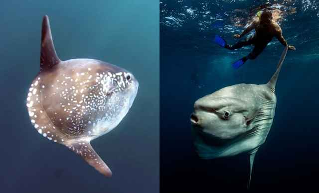pez luna Mola tecta