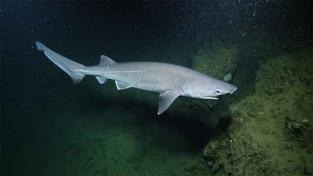 tiburón de seis branquias filmado en California