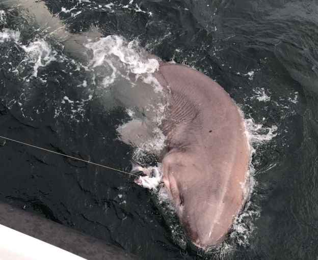 tiburón de seis branquias capturado en Irlanda