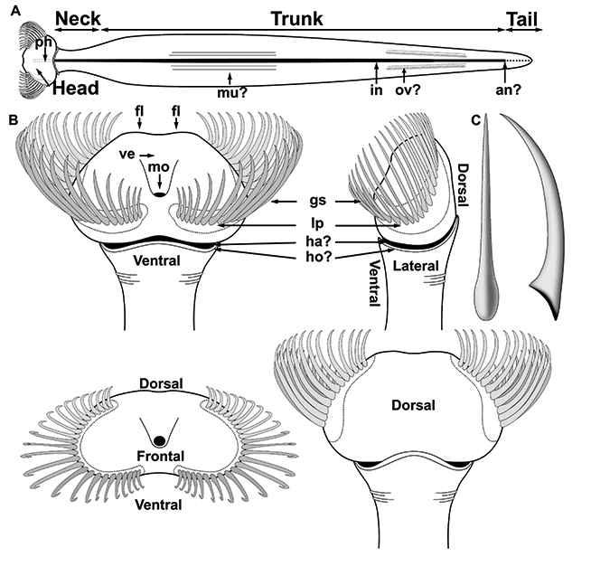 Capinatator praetermissus, diagrama