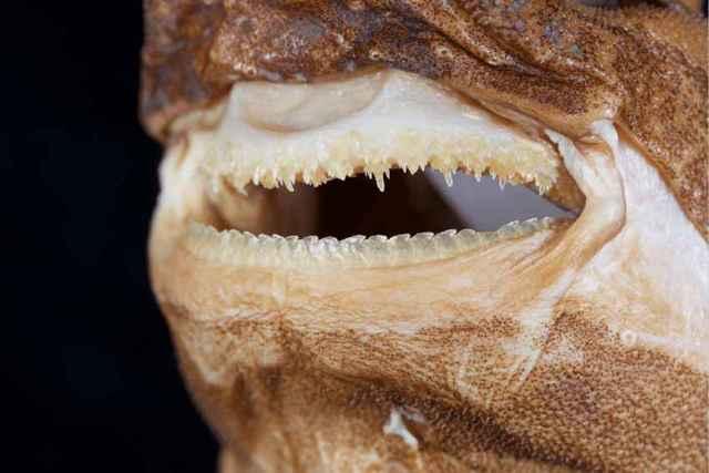 Etmopterus lailae, dientes