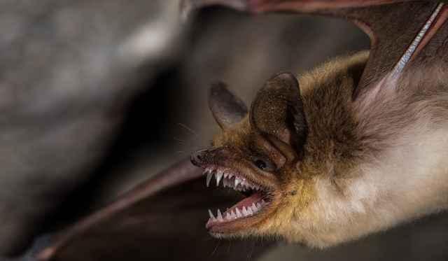 murciélago pescador mexicano (Myotis vivesi)