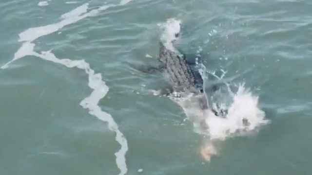 cocodrilo atrapa un tiburón