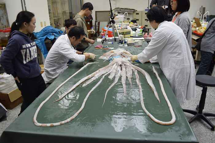 disección de un calamar gigante