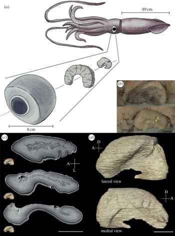 lóbulo óptico de un calamar gigante