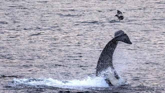 orca lanza a foca por el aire