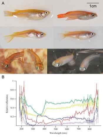 fisiología del pez medaka japonés