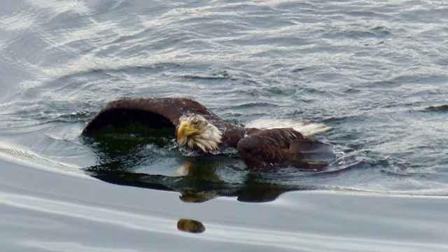 rescate de un águila nadando en una bahía