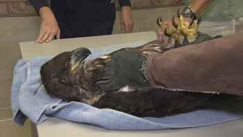 rescate de un águila