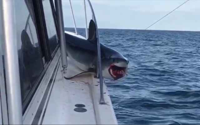 tiburón atrapado en la barandilla de un barco
