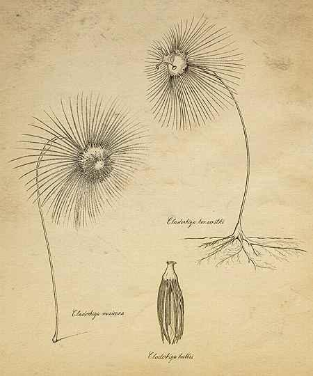 tres nuevas esponjas Cladorhiza antique