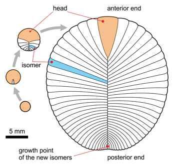 Dickinsonia, morfología