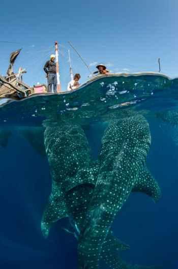 tiburón ballena nada bajo un pesquero bagan