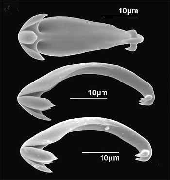 chelae de la esponja C. kensmithi