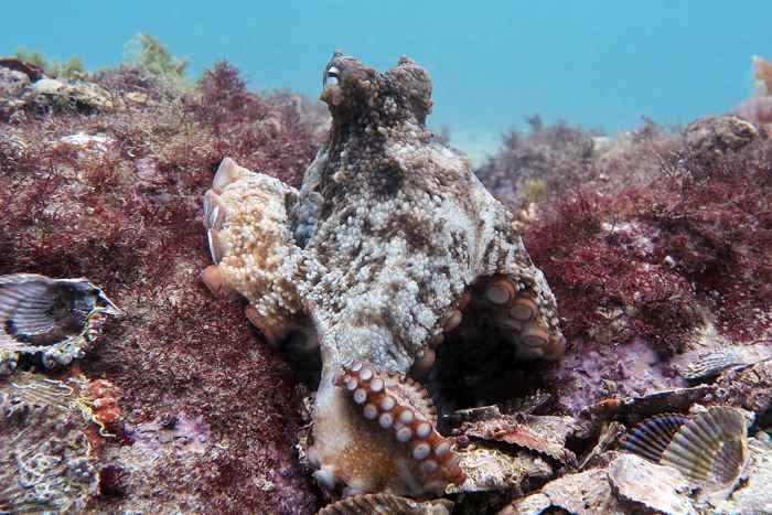 refugio de pulpos en la costa de Australia