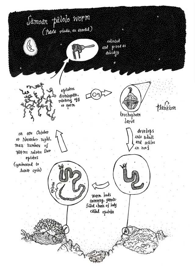 ciclo de vida del gusano marino Palolo