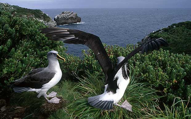 pareja de albatros errante (Diomedea exulans)