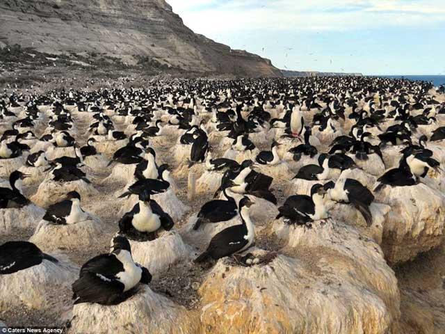 anidación de cormoranes en una playa de Patagonia, Argentina