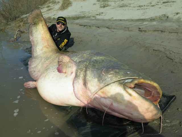 bagre gigante capturado en Italia