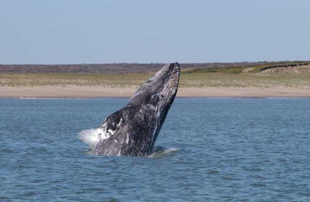ballena gris (Eschrichtius robustus)