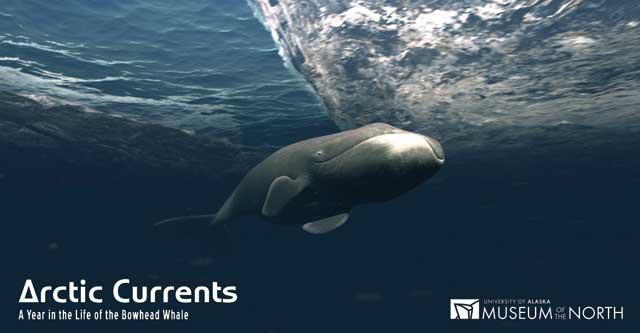ballena de cabeza arqueada o de Groenlandia (Balaena mysticetus)