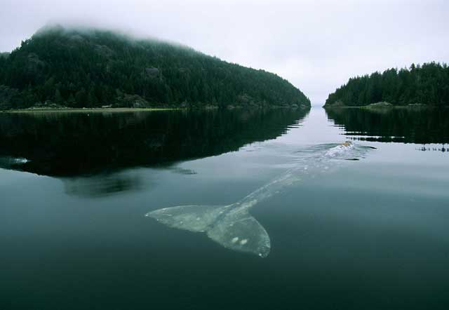 la ballena más solitaria del mundo