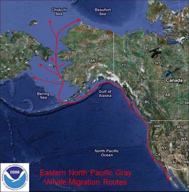 migración de las ballenas grises
