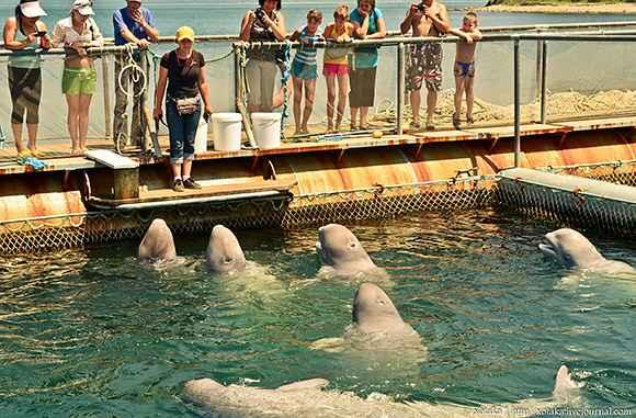 belugas en cautividad en Rusia