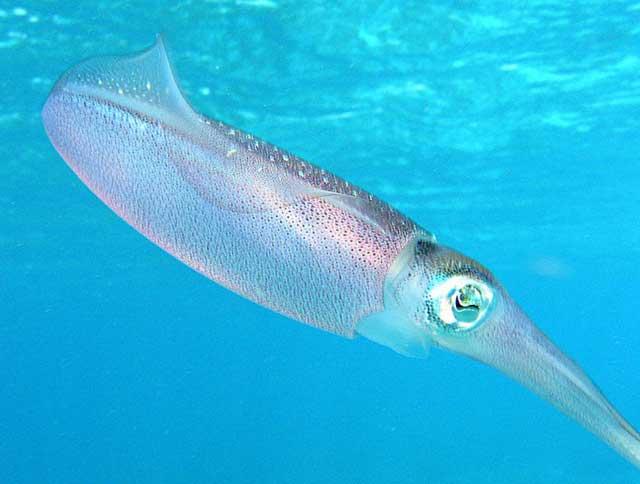 calamar de arrecife del Caribe