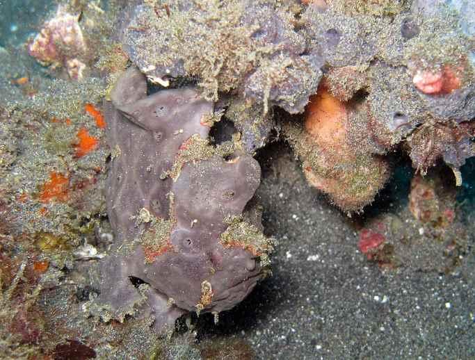 camuflaje del pez sapo como una roca