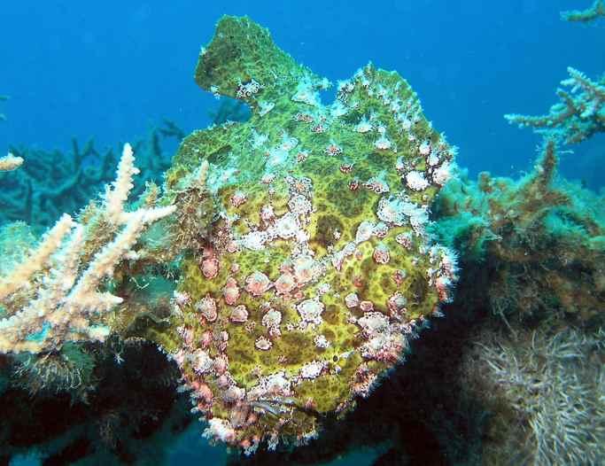 camuflaje del pez sapo entre arrecifes