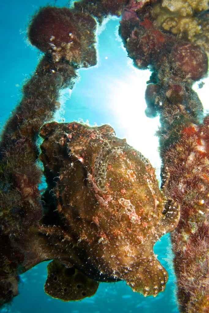 camuflaje del pez sapo en las ramas de un coral