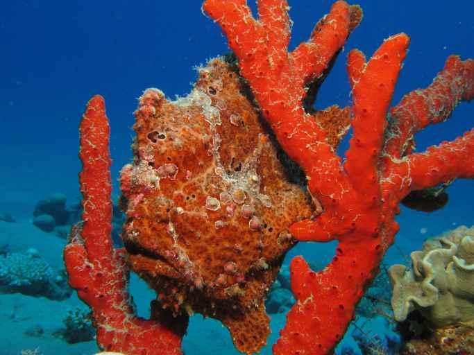 camuflaje del pez sapo en un coral