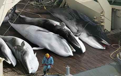 caza de ballenas minke por japón