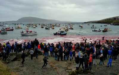 caza de ballenas piloto en las Islas Feroe