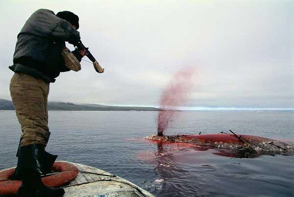 caza ilegal del narval