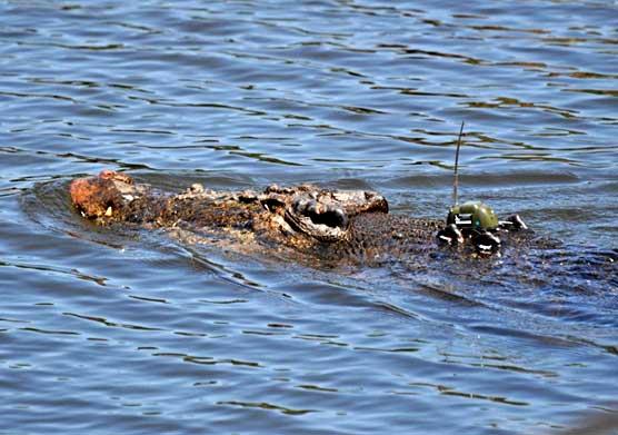 cocodrilo de agua salada o marino con un GPS