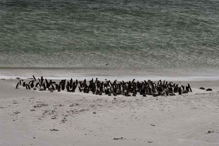 colonia de pingüinos en las Islas Malvinas