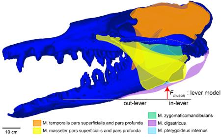 cráneo de un Basilosaurus