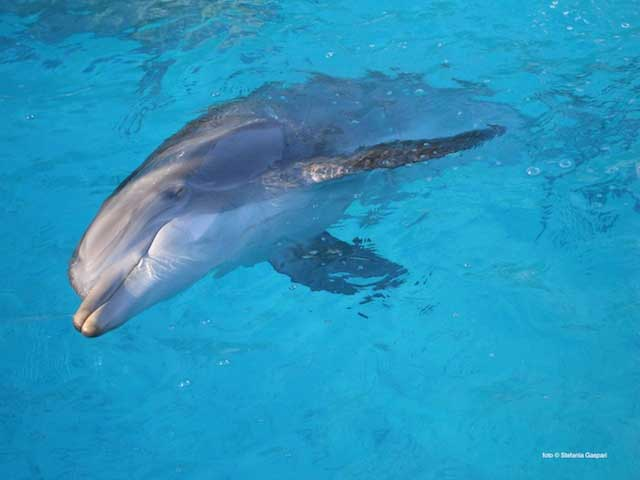 delfín nariz e botella (Tursiops truncatus)
